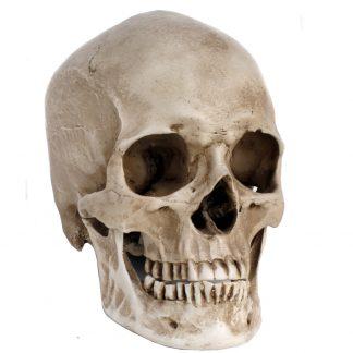 Reproduction Human Skull At A12North.co.uk